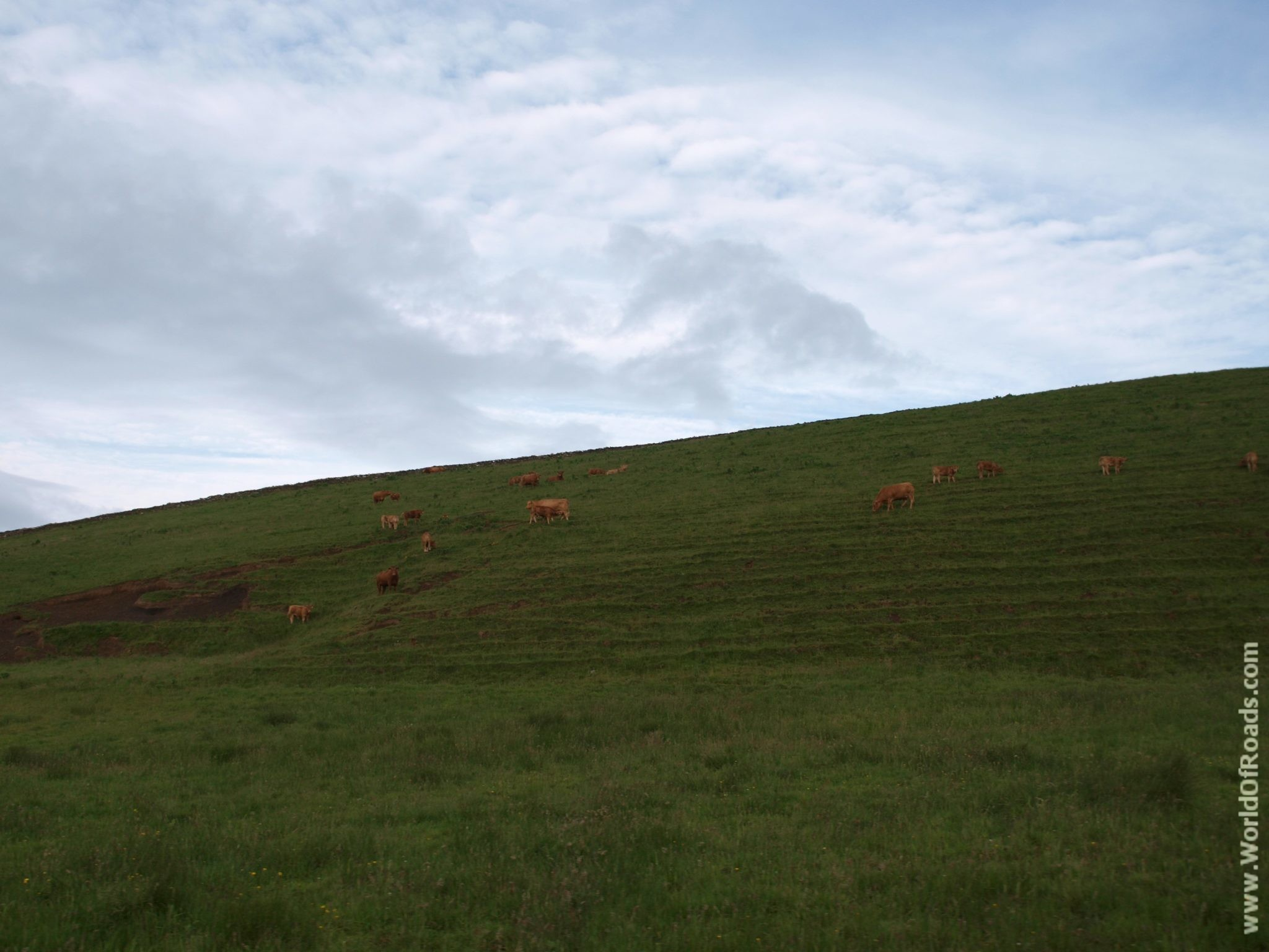 Коровы. Ирландия.