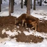 Горные коровы Сванетии. Грузия